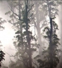 Giant Trees - Tasmania's world class forest giants